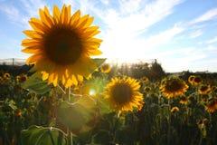 Solrosfält i Valensole, Provence Arkivbild