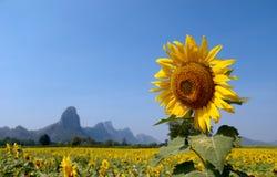 Solrosfält, Lopburi, Thailand Royaltyfria Foton