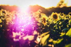 Solrosfält med överflöd av solljus i morgonen