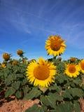 Solrosfält med bakgrund för blå sky Royaltyfri Bild