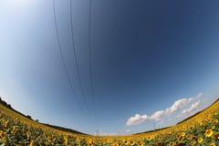 Solrosfält med elkraftlinjen Royaltyfria Foton