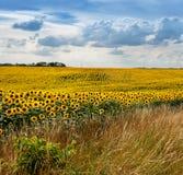 Solrosfält med gräs Royaltyfri Bild