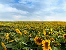 Solrosfält med molnig himmel Royaltyfri Bild
