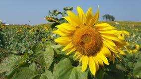 Solrosfält och bi fotografering för bildbyråer