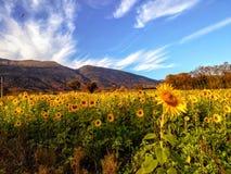 Solrosfält på en bergbakgrund royaltyfri bild