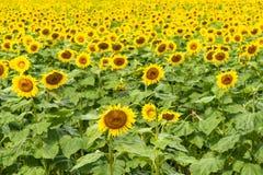 Solrosfält på full blom arkivbilder