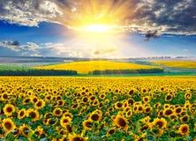 Solrosfält på morgonen Royaltyfri Foto