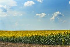 Solrosfält på solig dag Royaltyfria Foton