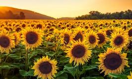 Solrosfält på solnedgången royaltyfri foto