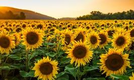 Solrosfält på solnedgången Fotografering för Bildbyråer