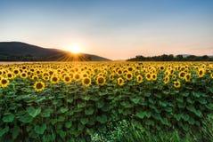 Solrosfält på solnedgången royaltyfri fotografi