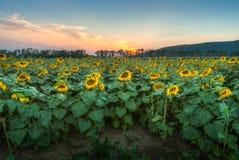 Solrosfält på solnedgången arkivfoto