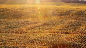 Solrosfält på solnedgången stock video