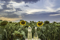 Solrosfält på solnedgången Royaltyfria Bilder
