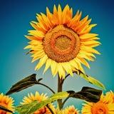 Solrosfält under blå himmel Royaltyfria Bilder