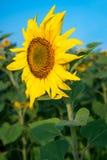 Solrosfält under blå himmel Royaltyfria Foton