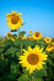 Solrosfält under blå himmel Fotografering för Bildbyråer