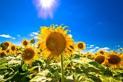 Solrosfält under sikt för blå himmel och sol Royaltyfri Fotografi