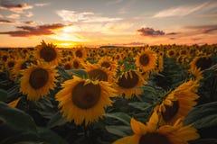 Solrosfält under solnedgång royaltyfri bild