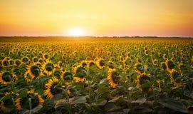 Solrosfält under solnedgång Royaltyfria Foton