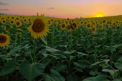 Solrosfält under solnedgång Digital komposit av en soluppgångnolla royaltyfri foto