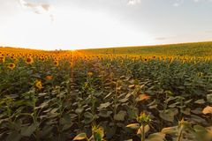 Solrosfält under solnedgång Digital komposit av en soluppgångnolla fotografering för bildbyråer
