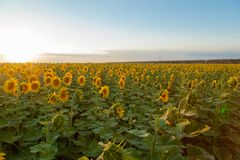 Solrosfält under solnedgång Digital komposit av en soluppgångnolla royaltyfria foton