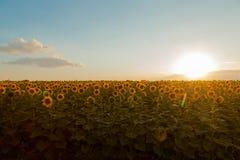 Solrosfält under solnedgång Digital komposit av en soluppgångnolla royaltyfri bild