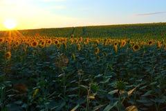 Solrosfält under solnedgång Digital komposit av en soluppgångnolla royaltyfri fotografi
