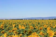 Solrosfält under sommar Royaltyfri Foto