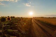 Solrosfälten på som lämnas grusvägsidorna i horen royaltyfri bild