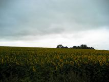 Solrosfältet och den dystra himlen arkivfoton