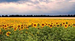 Solrosfältsolnedgång Fotografering för Bildbyråer