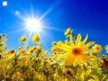 Solrosfält Arkivfoton