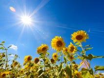 Solrosfält Arkivbild