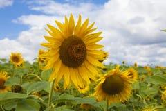 Solrosfält och blå sky Fotografering för Bildbyråer