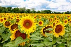 Solrosfält, Provence i sydliga Frankrike Royaltyfri Bild