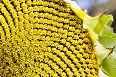 Solrosfrö, blomkrona arkivbild