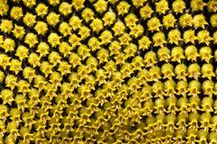 Solrosfrö, blomkrona royaltyfria bilder