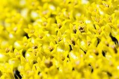 Solrosfrö, blomkrona royaltyfria foton