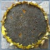 Solrosfrö på blomman som är klar för att skörda Royaltyfri Bild