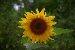 Solroshelg Arkivfoton