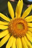 SolrosHelianthus Royaltyfri Fotografi