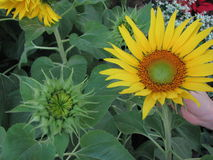 Solrosknopp och blom Royaltyfri Bild