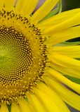 Solroskronblad Fotografering för Bildbyråer