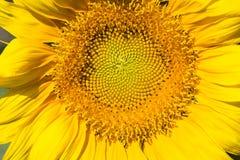 Solrosmakroskott Fotografering för Bildbyråer