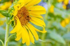 Solrosnärbild med biet Fotografering för Bildbyråer