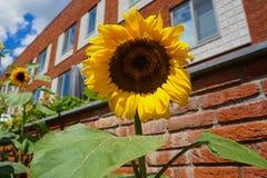 Solrosor öppnar upp i solen royaltyfria bilder
