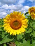 solrosor Royaltyfri Fotografi