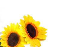solrosor Fotografering för Bildbyråer